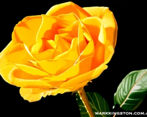 yellow rose 6th March 2014 72dpi copy