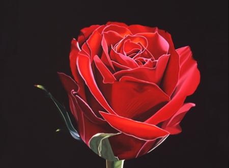 Red rose 3rd Feb 2014 72dpi
